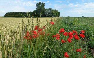 Sauvage / domestique: coqueliquots au bord d'un champ de blé